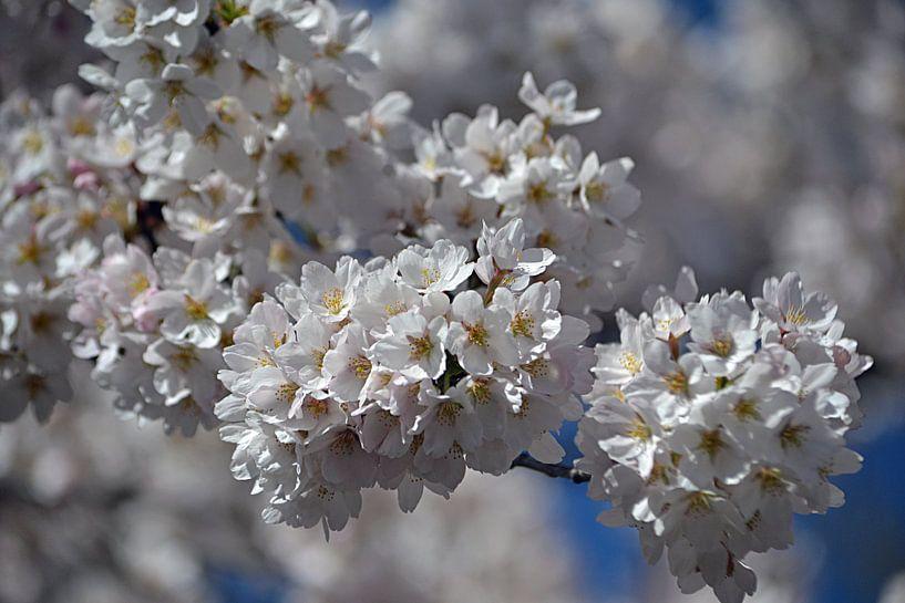 Kersenbloesem in bloei van JTravel