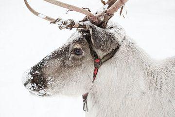 Nahaufnahme eines Rentiers im Schnee von Melissa Peltenburg