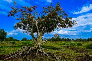 Boom met de wortel boven de grond in het Bargerveen. von Lisanne Bosch