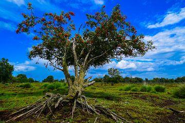 Boom met de wortel boven de grond in het Bargerveen. sur Lisanne Bosch