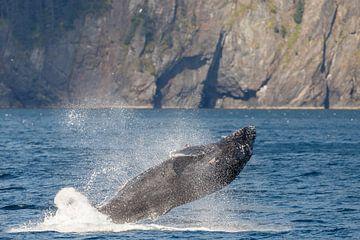 Springende bultrug walvis in Alaska von Menno Schaefer