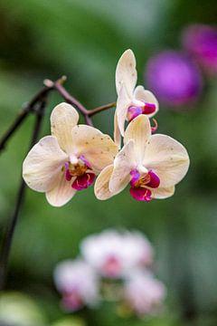 orchidee 9 van John van Weenen