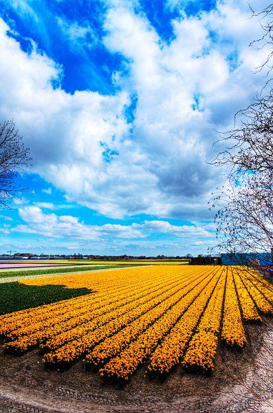 Bollenvelden in bloei