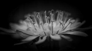 Paardenbloem zwart/wit van Wim van Beelen