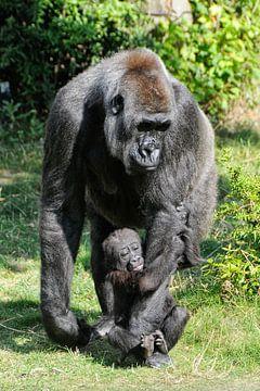 Gorilla sur Michel Groen