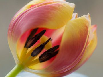 Expérience de tulipe sur Birgitte Bergman