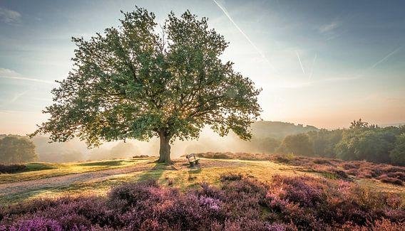Stralende zon achter een boom op de paarse Mookerheide
