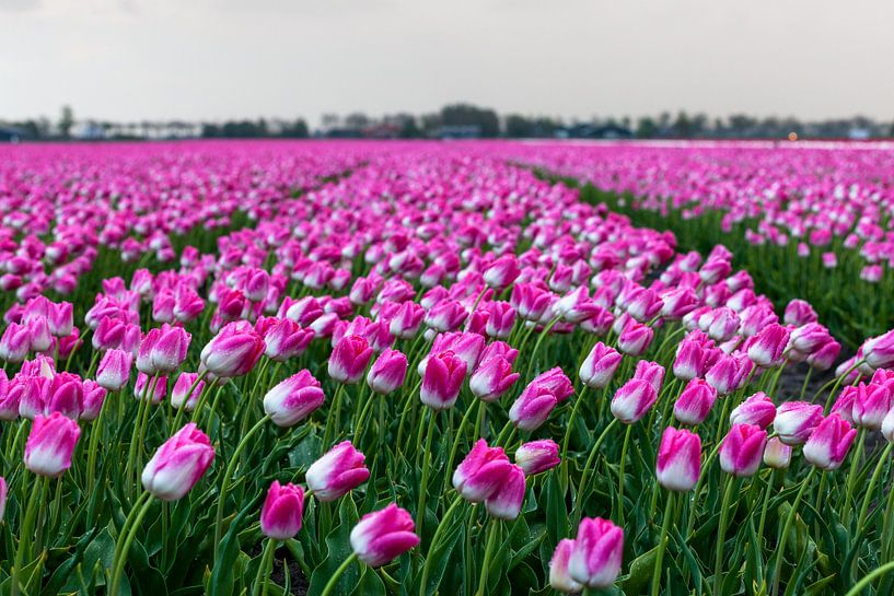Hollands tulpenveld van Marc Smits