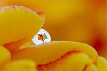 Een druppeltje Cilesta van Tiny Hoving-Brands