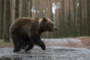 Eurasian Brown Bear ( Ursus arctos ) running through a frozen puddle van wunderbare Erde