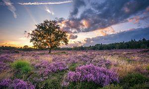 Bloeiende Heide van