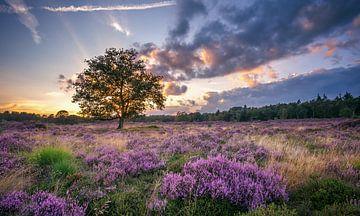 Blühende Heide von Martijn van Dellen