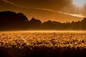 Gouden koren...