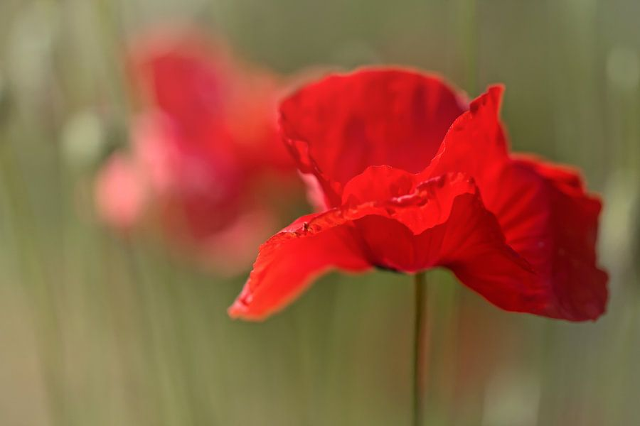 Summer Love.... (bloem, rood, klaproos, liefde) van Bob Daalder