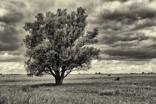 Solitaire boom in grasland in zwart wit