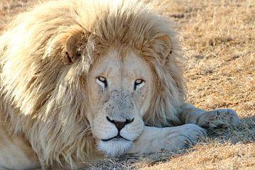 Weißes Löwen Männchen von Barbara Fraatz