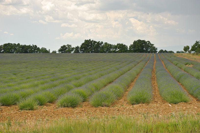 Provence lavendelveld  van Rene du Chatenier