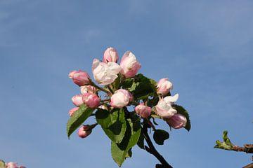 Appelbloesem van Spijks PhotoGraphics