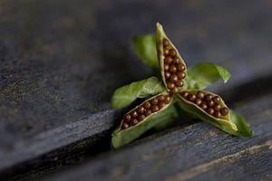 Zaaddoos van een viooltje van