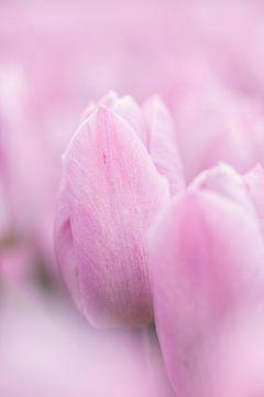 Zachte roze tulpen close up van KB Design & Photography (Karen Brouwer)