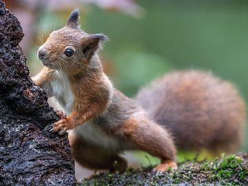 Eichhörnchen von Linda Raaphorst