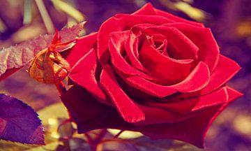Chic Velvet Red Rose von Valeriia T