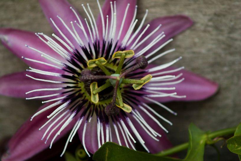 Passie flora van Bas Smit