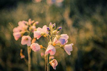 Pinksterbloem in de ochtendgloren von Stan Loo