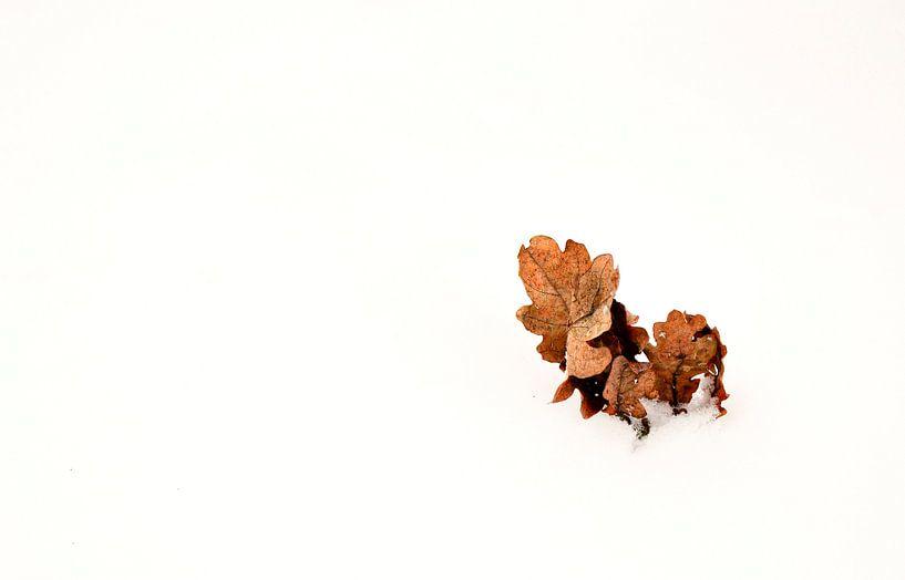 Oakleaf in snow  van Pim Feijen
