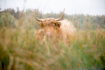 Schotse Hooglander van A. Goudswaard