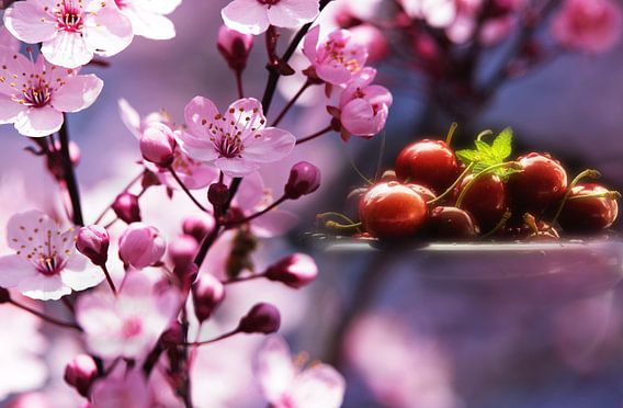Frische Kirschen im rosa Blütentraum von Tanja Riedel