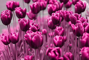 Tulpen sur Violetta Honkisz