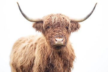 Schottischer Highlander von Karel Ton