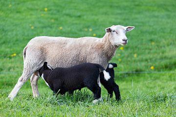Weißes Mutter Schaf mit zwei trinkende schwarze Lämmer in grünen Wiese von Ben Schonewille