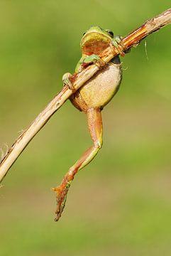 Baumfrosch, der an einem Ast in der Achterhoek hängt. von Jeroen Stel