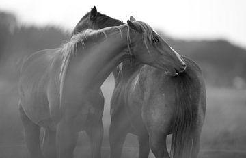 paard van Rando Kromkamp