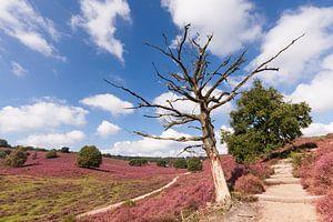 Dode boom op wandelpad in natuurgebied De Posbank van