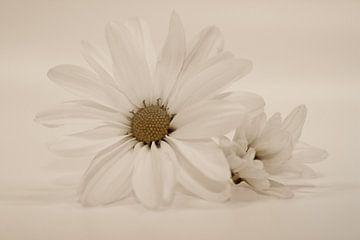 Chrysanthemen von Dagmar Marina