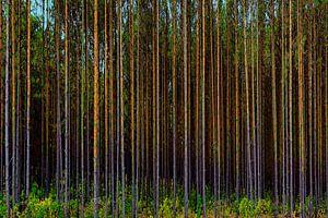 woud met kaarsrechte boomstammen van Rita Phessas