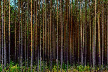 woud met kaarsrechte boomstammen