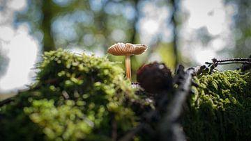 Kleine bruine zwam op een oude boomstronk van Fotografiecor .nl