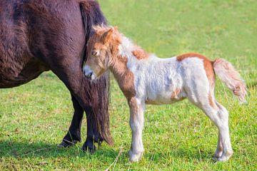 Neugeborenes Fohlenpony mit Mutter in niederländischen Weide von Ben Schonewille