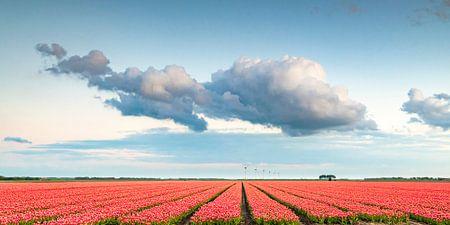 Felder der blühenden roten Tulpen während des Sonnenuntergangs in Holland