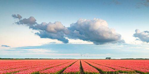 Bloeiende tulpen tijdens zonsondergang in Flevoland met een wolkenpartij van Sjoerd van der Wal