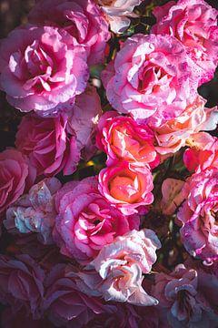 Rozen bloeien