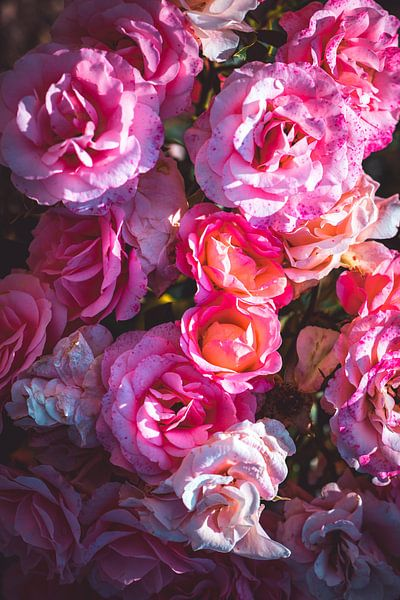 Rozen bloeien van Steffen Gierok