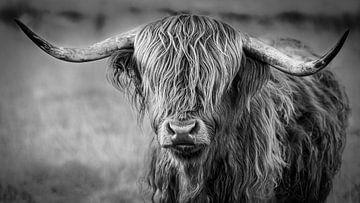 Highlander écossais (Waddie) sur Mark van der Walle