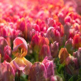 Tulpen uit Amsterdam van Dennisart Fotografie