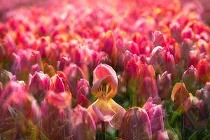 Tulpen uit Amsterdam van