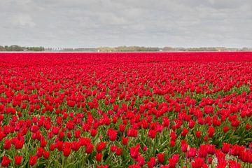 Rode tulpen van Tonko Oosterink